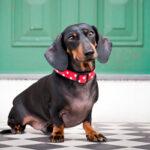 dachshund-ap-08ejpm-645sm101513